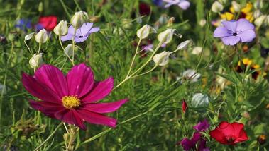 Milyen vadvirágokkal díszítsük az ősgyepet?
