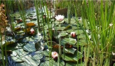A kerti tó növényei